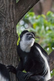 Black-and-white colobus Royalty Free Stock Images