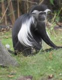 Long Limbed Black and White Colobus Monkey Sitting in Grass Royalty Free Stock Images