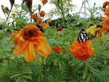 Black and white butterfly. Black and white color butterfly on the marigold flower royalty free stock image