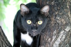 Black and white color cat Black is mostly White points are small with green eyes on the tree. royalty free stock images
