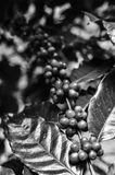 Arts of coffee beans in black and white colors. Black and white color of coffee cherries on tree branch in the garden,Thailand Stock Images