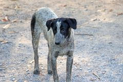 Black and white color of dog standing on the gravel road floor. It is a domesticated carnivorous mammal stock images