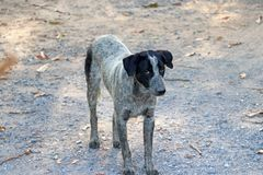 Black and white color of dog standing on the gravel road floor. It is a domesticated carnivorous mammal royalty free stock photography
