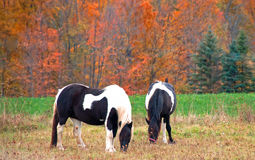 Black and White and Color. Two black and white paint horses grazing in front of colorful fall trees Royalty Free Stock Photos