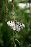 Black white colored butterfly sitting on green branch with spread out wings. Stock Photography