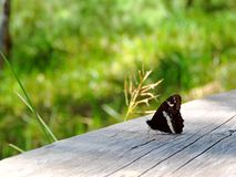 Butterfly on a wooden plank. Black and white colored butterfly sitting on a wooden plank with green background royalty free stock image