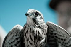 Black and White Colored Hawk Royalty Free Stock Photo