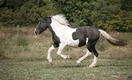 Black and white colored paint horse galloping on the field stock images