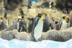 Black and White Colored Penguin Royalty Free Stock Photo