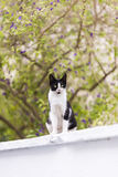 Black and white colored stray cat. Black and white colored stray cat foreground of the defoucsed begonville flowers and on a wall looking at camera Stock Photos