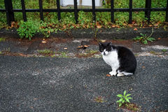 Black and white colors fat cat sitting on the wet street on rain Royalty Free Stock Images