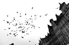 Scary, a flock of birds above the buildings. stock photography