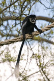 Black & White Colubus Monkey Royalty Free Stock Photo