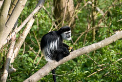 Black & White Colubus Monkey Stock Photo