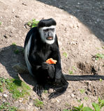 Black & White Colubus Monkey Royalty Free Stock Photography