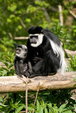 Black & White Colubus Monkey & baby Royalty Free Stock Photos