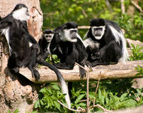 Black & White Colubus Monkey Family royalty free stock photography