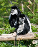 Black & White Colubus Monkey Family Stock Photos