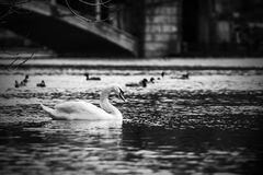 Black and white contrast image of a swan swimming in water on a background of other birds and the bridge. Vignetting, horizontal shot Royalty Free Stock Photo