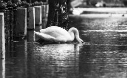 Black and white contrast image of a swan swimming in water in a flooded park Royalty Free Stock Photo