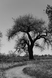 Black and White Cottonwood Tree. Cottonwood tree in black and white stock images