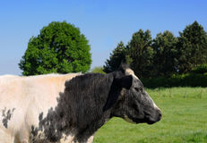 Black and white cow Stock Images