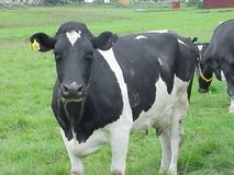 Black and White Cow 2 stock images