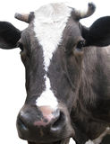 Black-and-white cow Stock Image