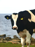 Black and white cow. A black and white cow eating grass near the shoreline, Swedish westcoast stock photos