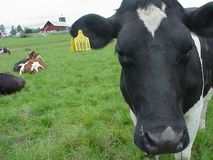 Black and White Cow 3 royalty free stock image