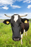 Black and white cow. In the meadow royalty free stock photos