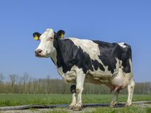 Black and white cow with big full udders. royalty free stock photography