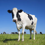 Black and white cow with blue sky. Portrait of black and white cow with blue sky royalty free stock photos