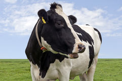 Black & white cow in close up Royalty Free Stock Image