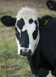 Black and white cow Stock Image