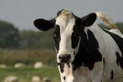 Black and white cow closeup. A single black and white cow in a farmland closeup Royalty Free Stock Image