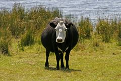 Black and white cow, Cornwall, England Royalty Free Stock Photo