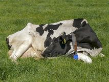 Black and white cow curled sleeping in the middle of a grassland. royalty free stock image