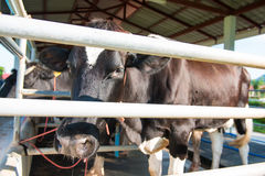 Black and white cow in dairy farm Royalty Free Stock Photo