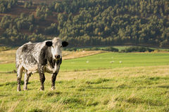 Black and white cow Royalty Free Stock Photography