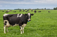 Black and white cow in a dutch landscape Royalty Free Stock Photo