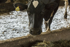 Black and White Cow Eating Hay in the Barn.  Stock Image