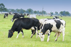Black and white cow on a farm. Black and white cow in a meadow on a farm Stock Image