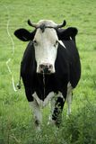 Black and white cow in field Royalty Free Stock Photography