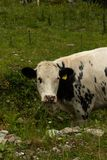 Cow grazing in a dry creek in Austrian alp valley eating lush gr royalty free stock photos