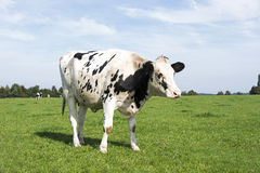 Black and white cow grazing in the green grass Stock Photography