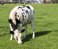 Black and white cow grazing in the green grass Royalty Free Stock Images
