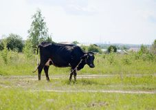 Black and white cow grazing in a meadow royalty free stock photography
