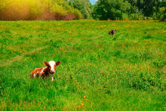 Black and white cow grazing on meadow in mountains. Cattle on a mountain pasture. Summer sunny day. Cow in pasture. Mountain meado. W. Green meadow in mountains Stock Images