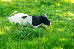 Black and white cow grazing on meadow in mountains. Cattle on a mountain pasture. Summer sunny day. Cow in pasture. Mountain meado. W. Green meadow in mountains Royalty Free Stock Photo